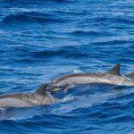 Wild Spinner Dolphins Oahu