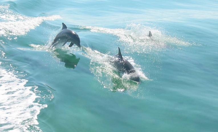 Wild dolphins in Naples FL