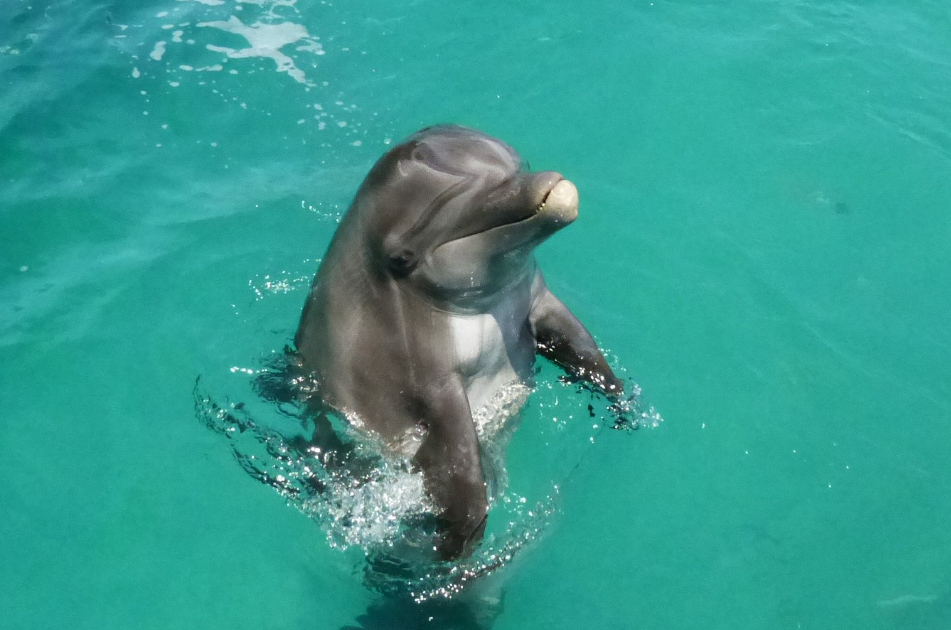 Dolphin Playing St Thomas